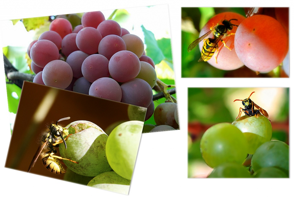 Kak zaschitit vinograd ot nasekomyih