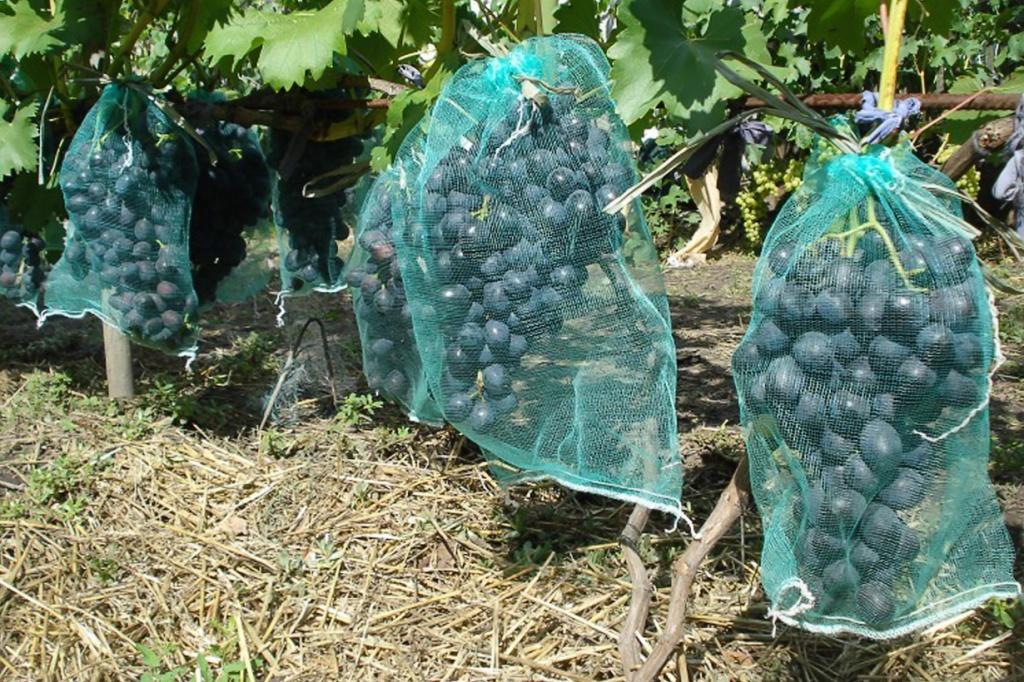 Kak zaschitit vinograd ot nasekomyih.jpg